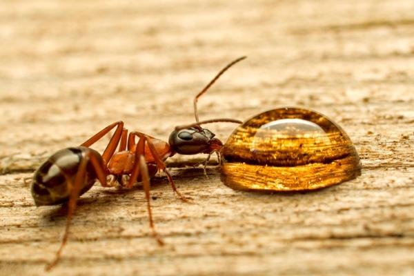 Жидкая приманка для муравьев