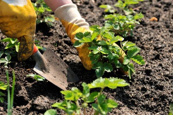 Уход за клубникой садовой