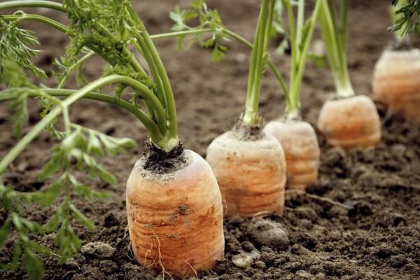 Образование солонина на моркови